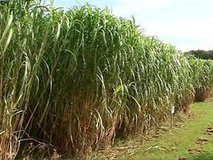 Растения для биотоплива